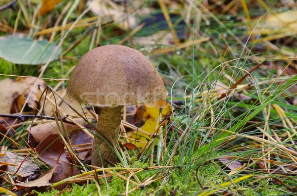 Berk paddestoel bos groene vallen champignon Stockfoto © LianeM