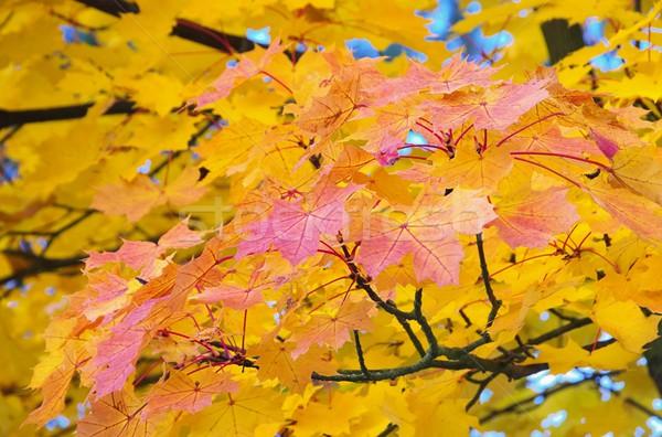 Foglia d'acero 14 albero natura luce foglie Foto d'archivio © LianeM