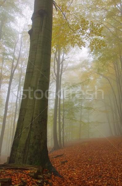beech forest in fog 07 Stock photo © LianeM