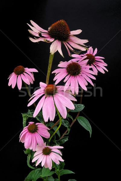 Purple Coneflower 15 Stock photo © LianeM