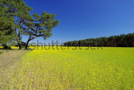 rape field and village 02 Stock photo © LianeM
