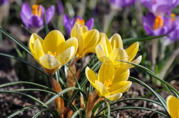 Stockfoto: Krokus · gras · tuin · winter · plant · weide