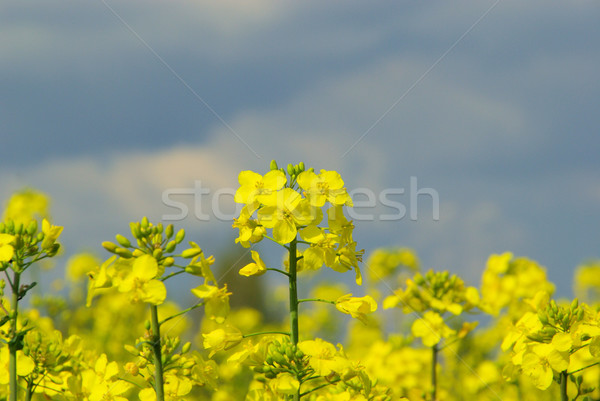Rapeseed 38 Stock photo © LianeM