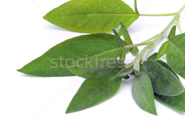sage leaf 08 Stock photo © LianeM