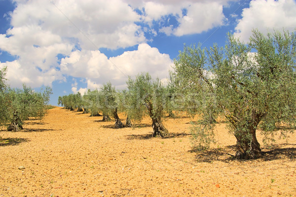 olive grove 25 Stock photo © LianeM