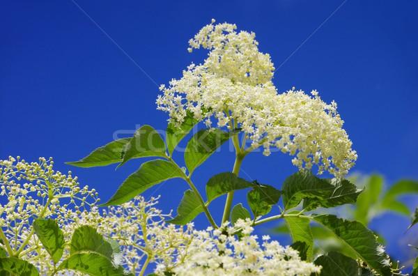 Holunder Blume grünen Anlage weiß Blüte Stock foto © LianeM