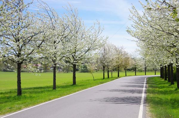 cherry blossom avenue  Stock photo © LianeM