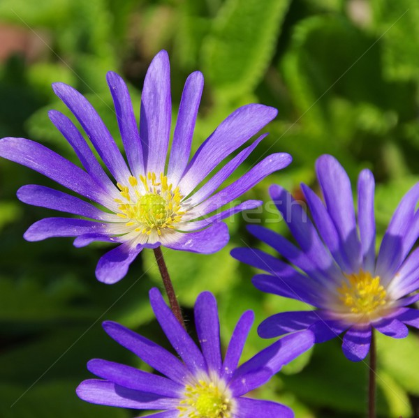 Grecian windflower  Stock photo © LianeM
