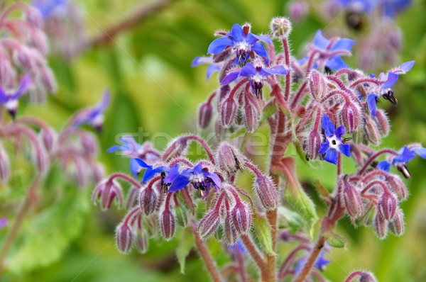 borage is blooming in blue Stock photo © LianeM