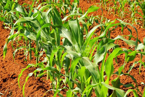 Maisfeld - corn field 01 Stock photo © LianeM