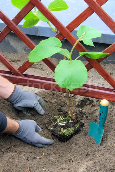 planting a kiwi plant 04 Stock photo © LianeM