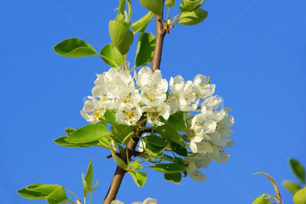 Virágzó körte fa 30 virág alma Stock fotó © LianeM