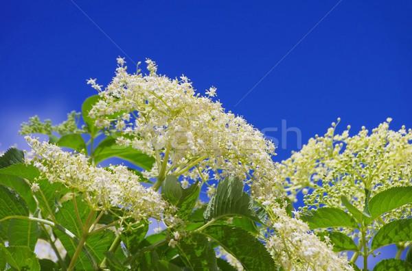 Mais velho flor verde planta branco flor Foto stock © LianeM