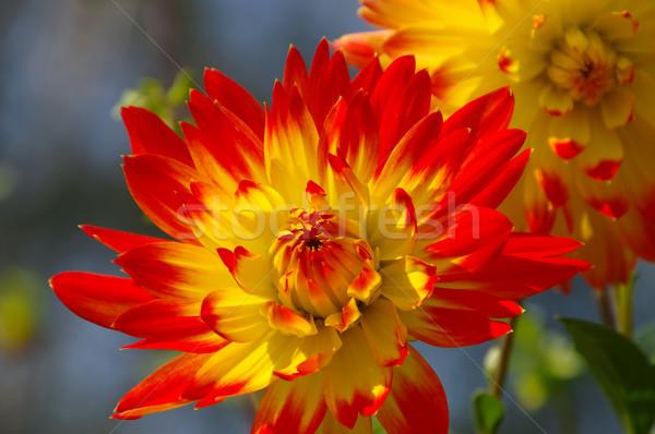 Dalya çiçek kırmızı sarı yaz bahçe Stok fotoğraf © LianeM