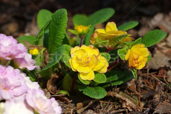 Prímula flor primavera primavera Foto stock © LianeM