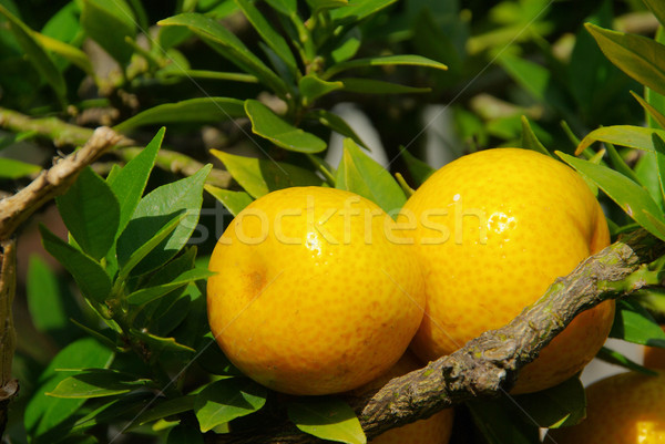 De frutas de naranja árbol 13 hoja frutas jardín Foto stock © LianeM