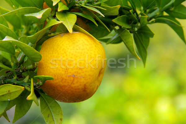 lemon on tree 06 Stock photo © LianeM