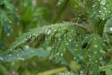 Umido foglie papavero foglia verde impianto Foto d'archivio © LianeM