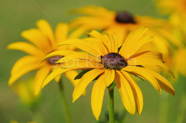 black-eyed Susan 13 Stock photo © LianeM