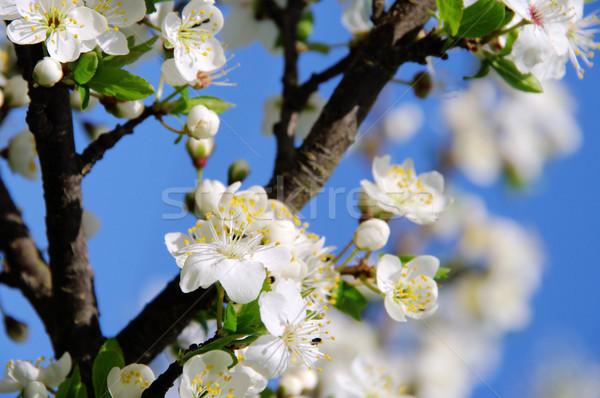 plum blossom 52 Stock photo © LianeM
