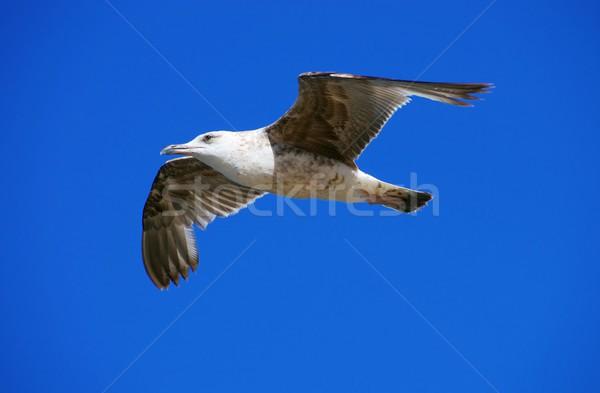 gull flying 05 Stock photo © LianeM