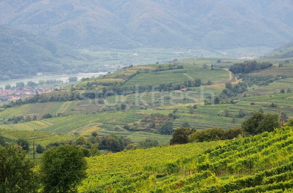 Wachau vineyard  Stock photo © LianeM