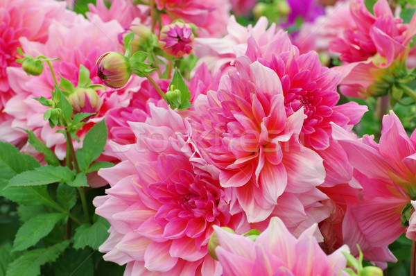 Dahlia is called Otto Thrill Stock photo © LianeM