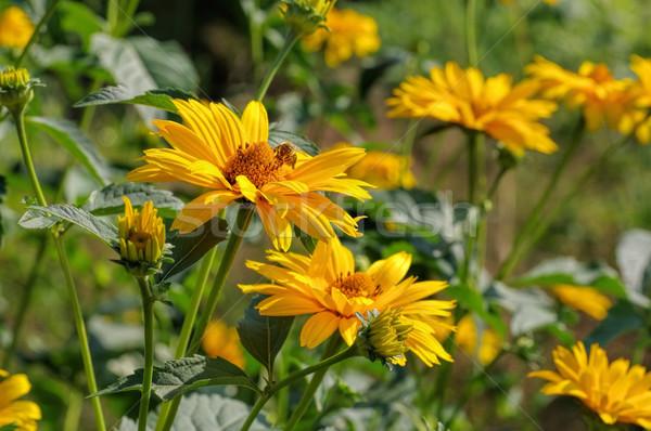 yellow oxeye daisy flower Stock photo © LianeM