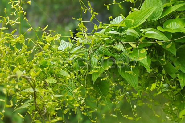 Yam, Dioscorea caucasica plant Stock photo © LianeM