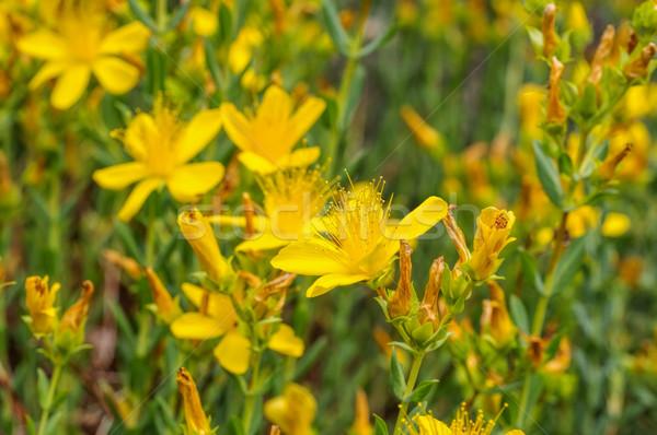 Hypericum olympicum, a yellow St. John's-worts Stock photo © LianeM