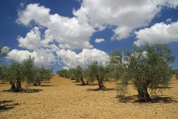 Olijfolie bosje hemel boom bomen wolk Stockfoto © LianeM