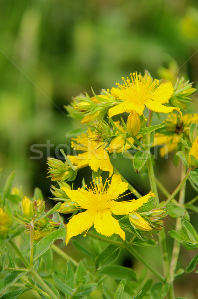 St Johns wort 31 Stock photo © LianeM