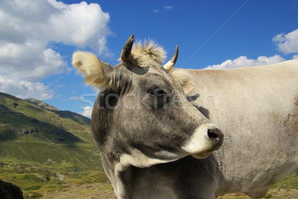 alp cow 01 Stock photo © LianeM