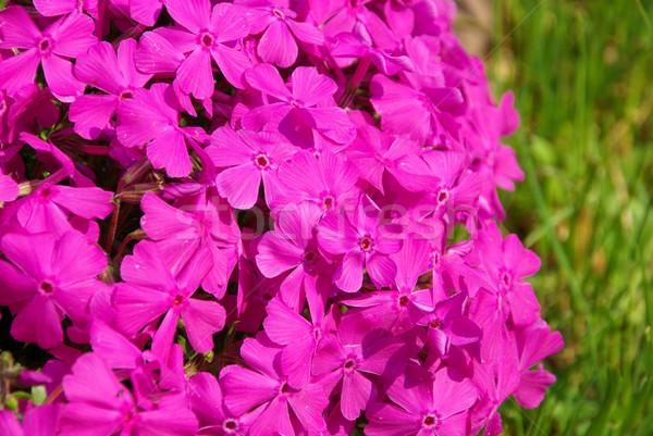 Musgo 12 flor jardim verde folhas Foto stock © LianeM