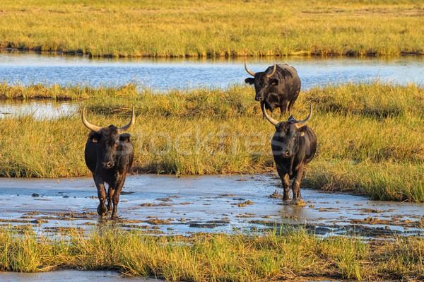 Camarguais bulls in swamp, France Stock photo © LianeM
