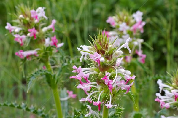 Vadvirág szép levél növények rózsaszín lila Stock fotó © LianeM
