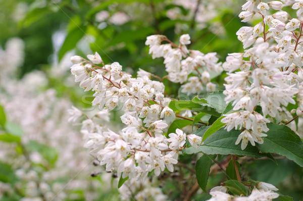白 低木 花 自然 葉 ストックフォト © LianeM