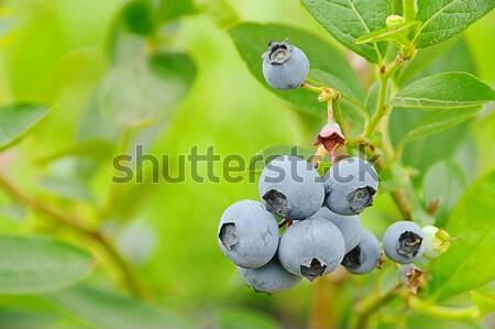 Mirtillo arbusto natura giardino verde blu Foto d'archivio © LianeM