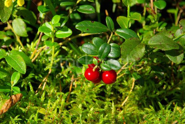 cowberry plant 04 Stock photo © LianeM