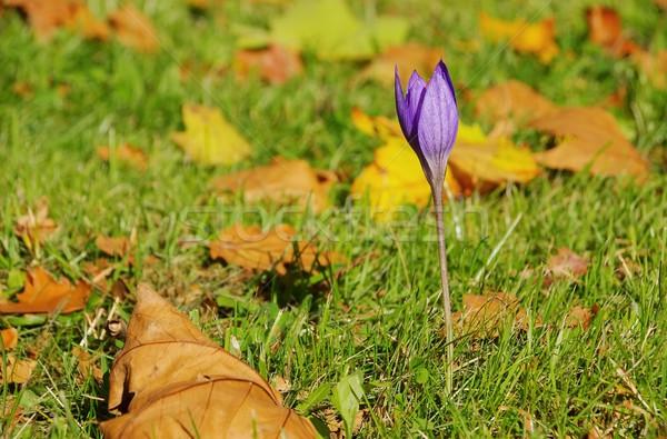 Outono açafrão roxo flor natureza verde Foto stock © LianeM