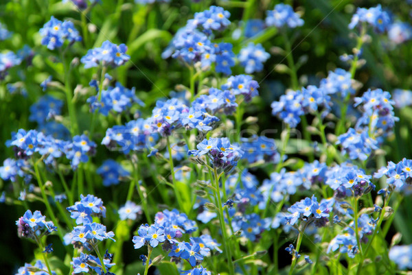 forget-me-not 05 Stock photo © LianeM