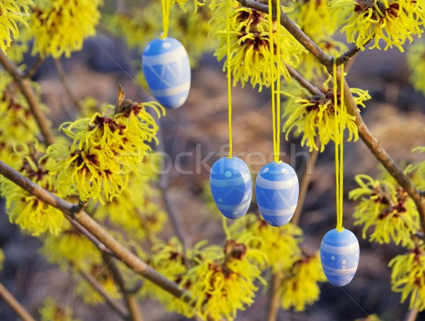 hamamelis shrub in easter time 10 Stock photo © LianeM