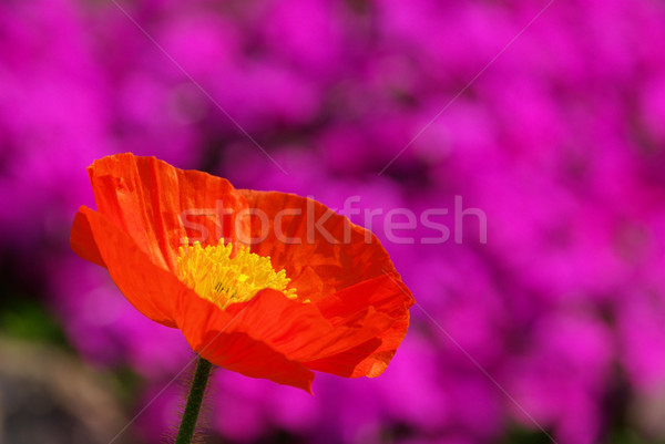 iceland poppy 03 Stock photo © LianeM