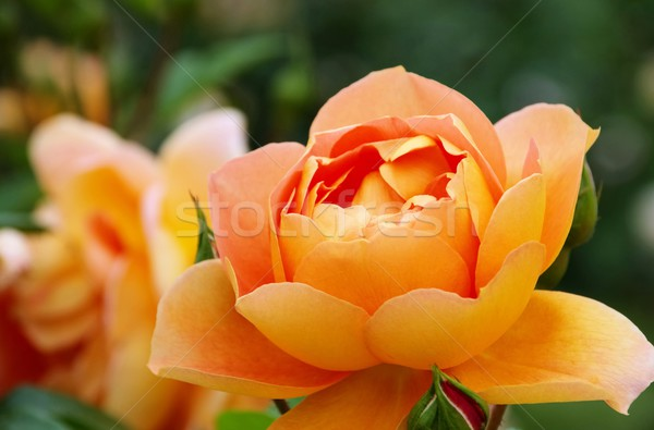 Rose austin orange roses vert jaune Photo stock © LianeM