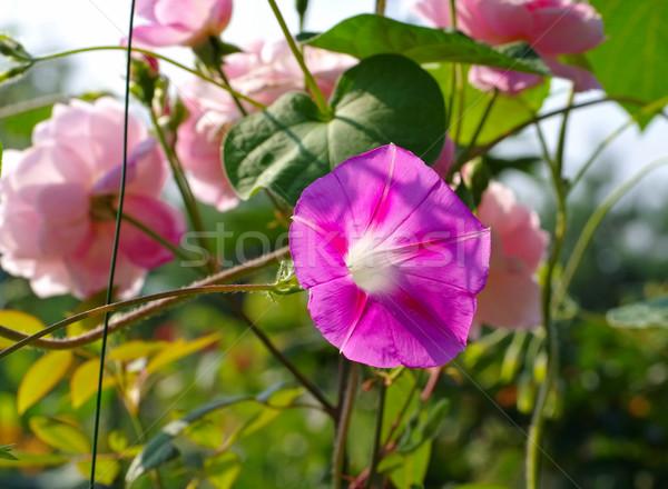 Ipomoea tricolor in summer Stock photo © LianeM