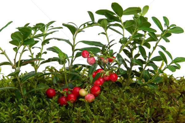 cowberry 04 Stock photo © LianeM