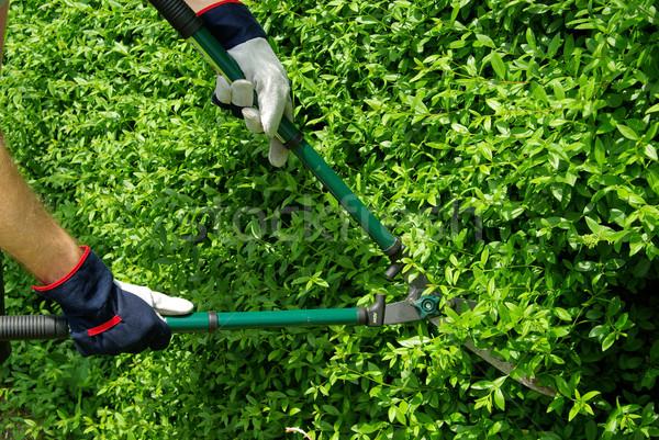 cut a hedge 09 Stock photo © LianeM