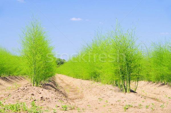 asparagus field 20 Stock photo © LianeM