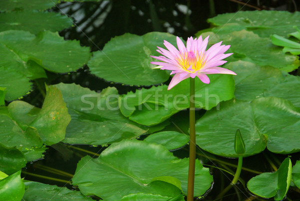 Seerose - water lily 20 Stock photo © LianeM