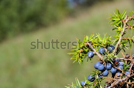 juniper  Stock photo © LianeM